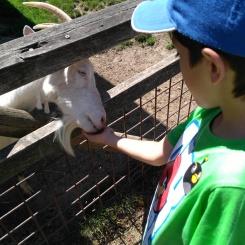 Da freuen sich die Ziegen über so viel Futter